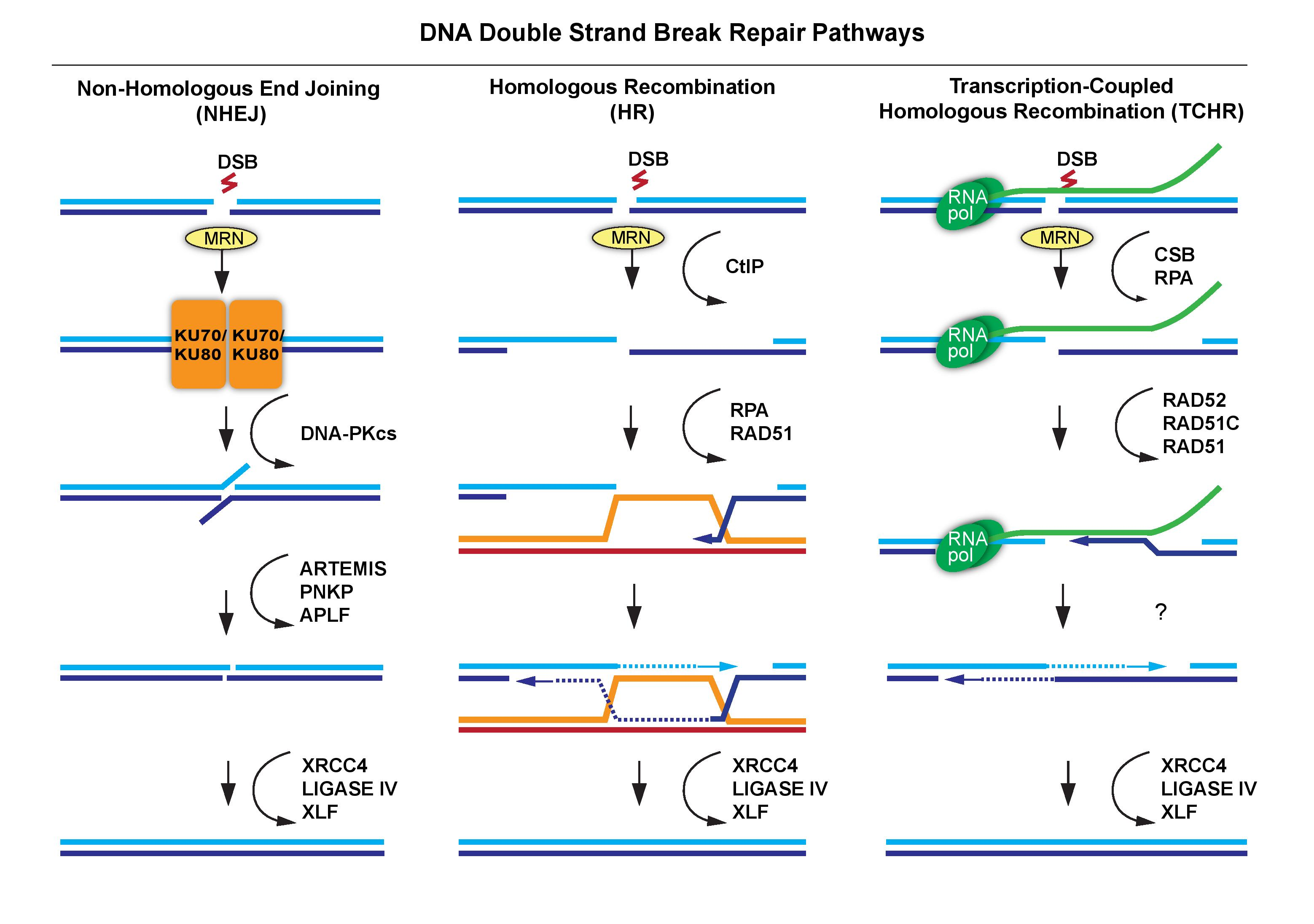 Figure 1. Canonical DNA Double Strand Break Repair Pathways. Non-homologous End Joining (NHEJ) repair (Left) involves the recognition of the DSB by the MRE11-RAD50-NBS1 (MRN) (Kim et al., 2005) complex which facilitates recognition of DNA ends by the Ku70/Ku80 heterodimer.  The Ku70/Ku80 heterodimer prevents end resection and hold DNA ends in close proximity.  Next, the recruitment of DNA-dependent protein Kinase (DNA-PKcs) activates DNA end-processing effectors ARTEMIS, Polynucleotide kinase/phosphatase (PNKP) and Aprataxin and PNKP Like Factor (APLF).  Processed DNA ends are then ligated by a DNA ligase IV complex containing X-Ray Repair Complementing Defective Repair In Chinese Hamster Cells 4 (XRCC4), and XRCC4-Like Factor (XLF, also known as Non-Homologous End Joining Factor 1 (NHEJ1)) (reviewed in Dabin et al., 2016; McKinnon, 2009). Homologous Recombination (HR) repair (center) involves the recognition of the DSB by the MRE11-RAD50-NBS1 (MRN) complex followed by end-resection mediated by BRCA1 C-Terminal interacting protein (CtIP) (Takeda et al., 2007). In dividing cells, 3' single stranded DNA is bound by replication protein A (RPA) and Rad51 recombinase, which facilitate strand invasion and homology search of the sister chromatid (pictured) (Helleday et al., 2007). Following strand complementation, DNA ends are ligated by the XRCC4/XLF/DNA ligase IV complex. Transcription-Coupled Homologous Recombination (TCHR) repair (right). In G0/G1 cells, actively transcribed loci can also utilize HR repair by using RNA as a template. Following recognition of the MRN complex, TCHR repair is known to require the ATPase activity of Cockayne Syndrome B (CSB) followed by RPA loading to protect single stranded DNA. RNA-templated DNA repair then requires the loading of repair factors Rad51, Rad51C and Rad52/BRCA2, which utilize RNA as the template for DNA repair (Ohle et al., 2016; Wei et al., 2015, 2016a).  Final end ligation of newly synthesized DNA is likely mediated by the same XRCC4/XLF/DNA ligase IV complex.
