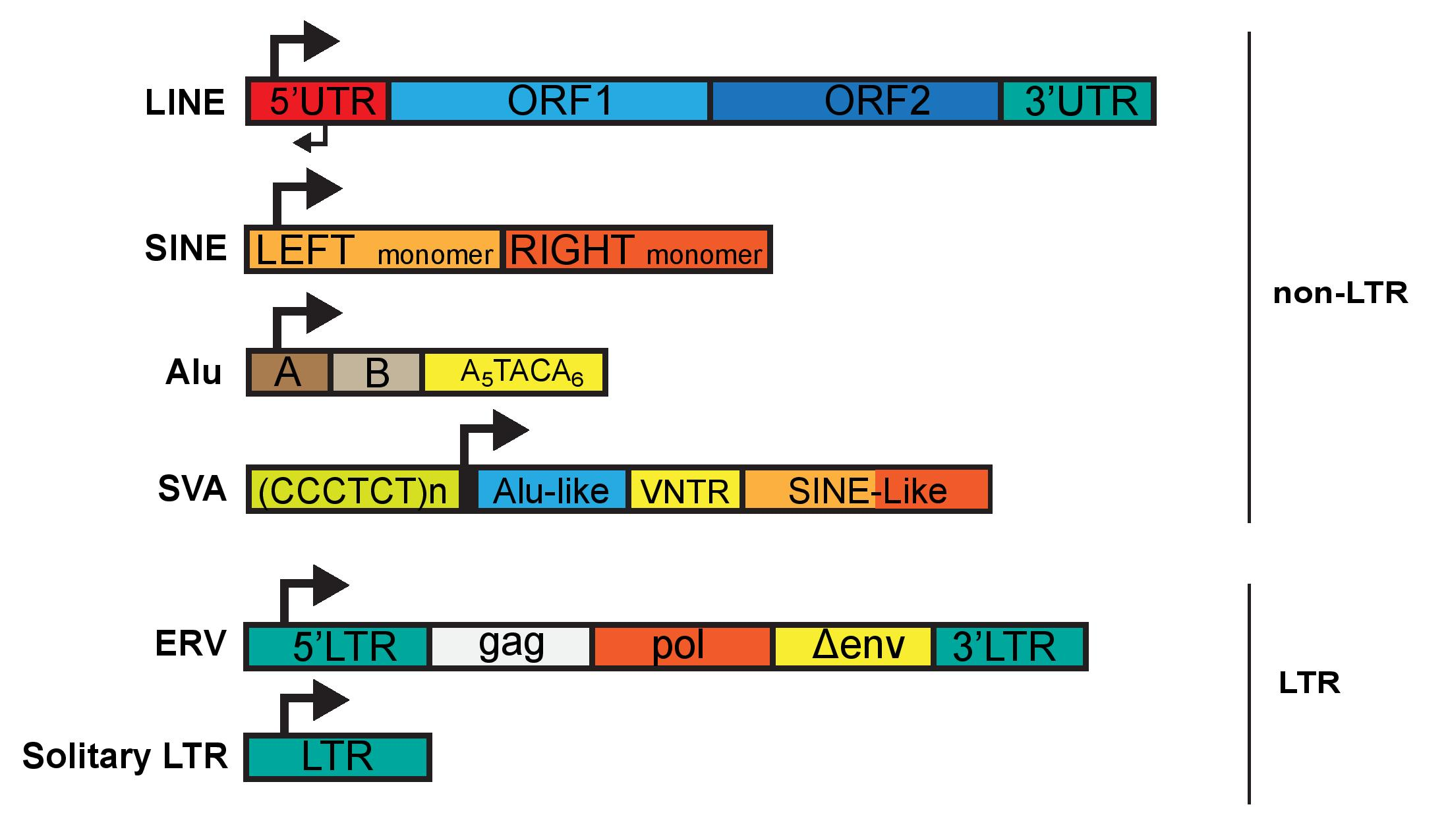 Figure 2. Sequence architecture of mammalian LTR and Non-LTR transposable elements. Schematic diagram of non-LTR retrotransposons and LTR retrotransposons. Non-LTR transposons include Long INterspersed Elements (LINEs), Short INterspersed Elements (SINEs) such as Alu (primates) and SVA elements (primates). LTR retrotransposons are resultant of past exogenous viral integration and are comprised of 5' and 3' Long terminal repeats (LTRs) and retroviral ORFs gag, pol and a truncated or mutated env. Recombination between 5' and 3' LTRs deletes the internal region, leaving behind a solo LTR which harbors regulatory regions and transcription factor binding sites (TFBSs).
