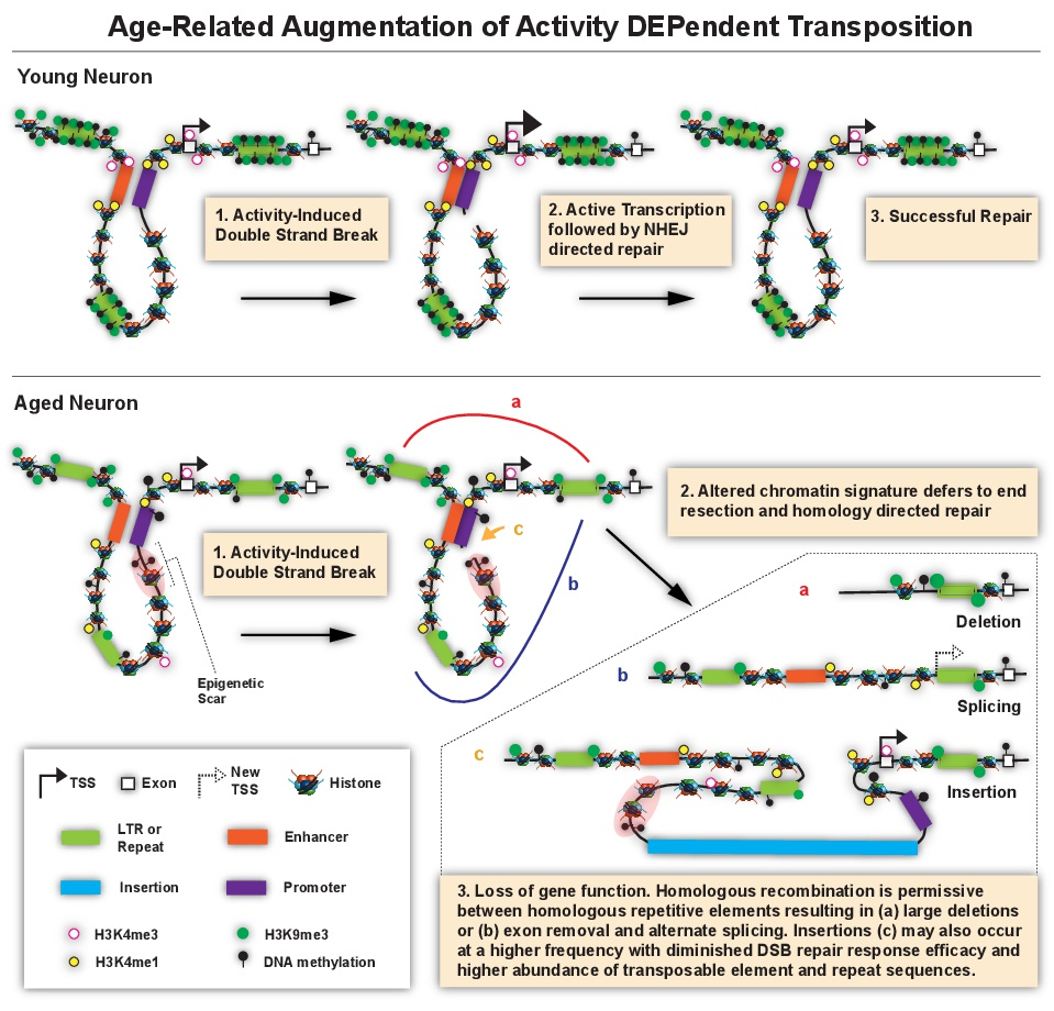 Figure 5. Age-Related Augmentation of Activity DEPendent Transposition . In young neurons (top row), activity-dependent DNA DSBs occur in the enhancer/promoter region of immediate-early genes, which is a requirement for their expression.  Following transcription, activity-dependent DSBs in young neurons are repaired without error by the NHEJ pathway, as described by Madabhushi et al., (2015). In aged neurons (bottom row), epigenetic drift leads to chromatin compartments being less well defined with regards to histone modifications and DNA methylation.  Accordingly H3K4me1 and H3K4me3 are re-distributed and repetitive sequences are no longer repressed by H3K9me3 and DNA methylation, leading to their transcription and production of lncRNAs.  In light of the epigenetic drift, DSBs generated in aged neurons are repaired by the homologous recombination (HR) pathway.  HR repair uses the repeat-containing lncRNAs as a template, which results in recombination between repeats flanking the gene. Recombination between repeats would most frequently result in (a) deletions, as well as (b) alternative Transcription Start Sites (TSSs) or a change in splicing by exon removal, and (c) duplications or insertions into the enhancer/promoter region. (Figure modified from Newman et al. (2017) EMBO Reports).
