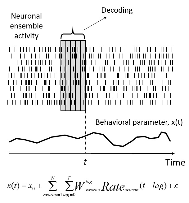 Figure 2. Decoding neuronal ensemble activity using a linear decoder (Wiener filter). For a time of interest, t, neuronal firing rates are measured in a time window preceding t. The window is split into several bins, also called taps; firing rates are measured within each bin. A behavioral parameter of interest (for example, arm coordinate) is then represented as a weighted sum of neuronal rates for different bins. The weights are calculated using the well-known multiple linear regression methods.