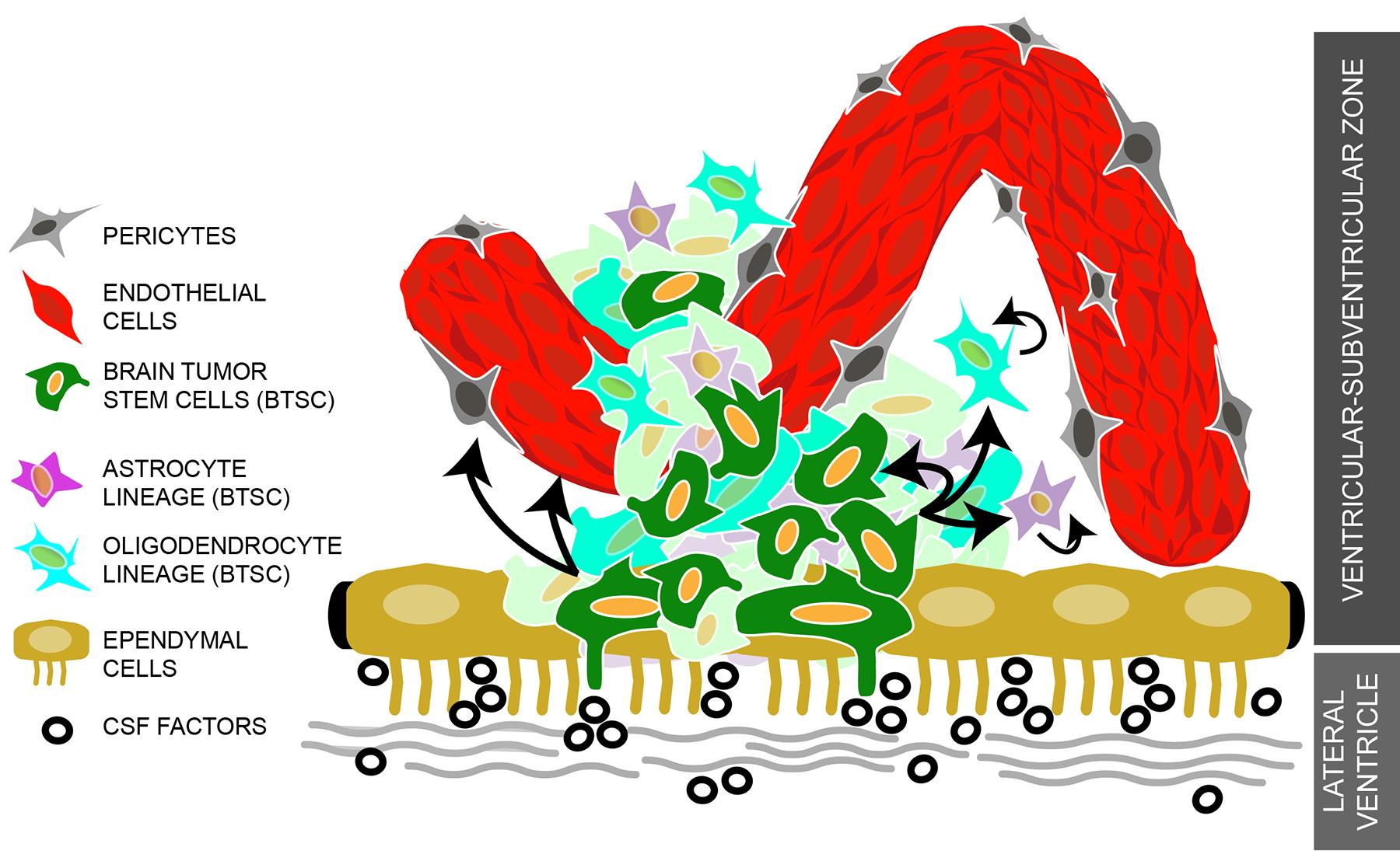 Figure 2: Schematic Diagram of the Tumorigenic Niche Brain tumor stem cells (BTSC) interact closely with niche components that include factors released by the endothelial cells that make up the enhanced tumor vasculature, pericytes, and other tumor cell types. In cases where BTSCs are in close contact with the lateral ventricles, these cells may also be receptive to the same diffusible factors present in the CSF. The result of these interactions could have similar effects on the behavior of BTSCs, as it does on normal NSCs, such as the enhancement of BTSCs to self-renew and generate lineage-specific tumor cells (including the ability to generate endothelial cells) resulting in the aberrant expansion and invasiveness of a highly heterogeneous brain tumor.