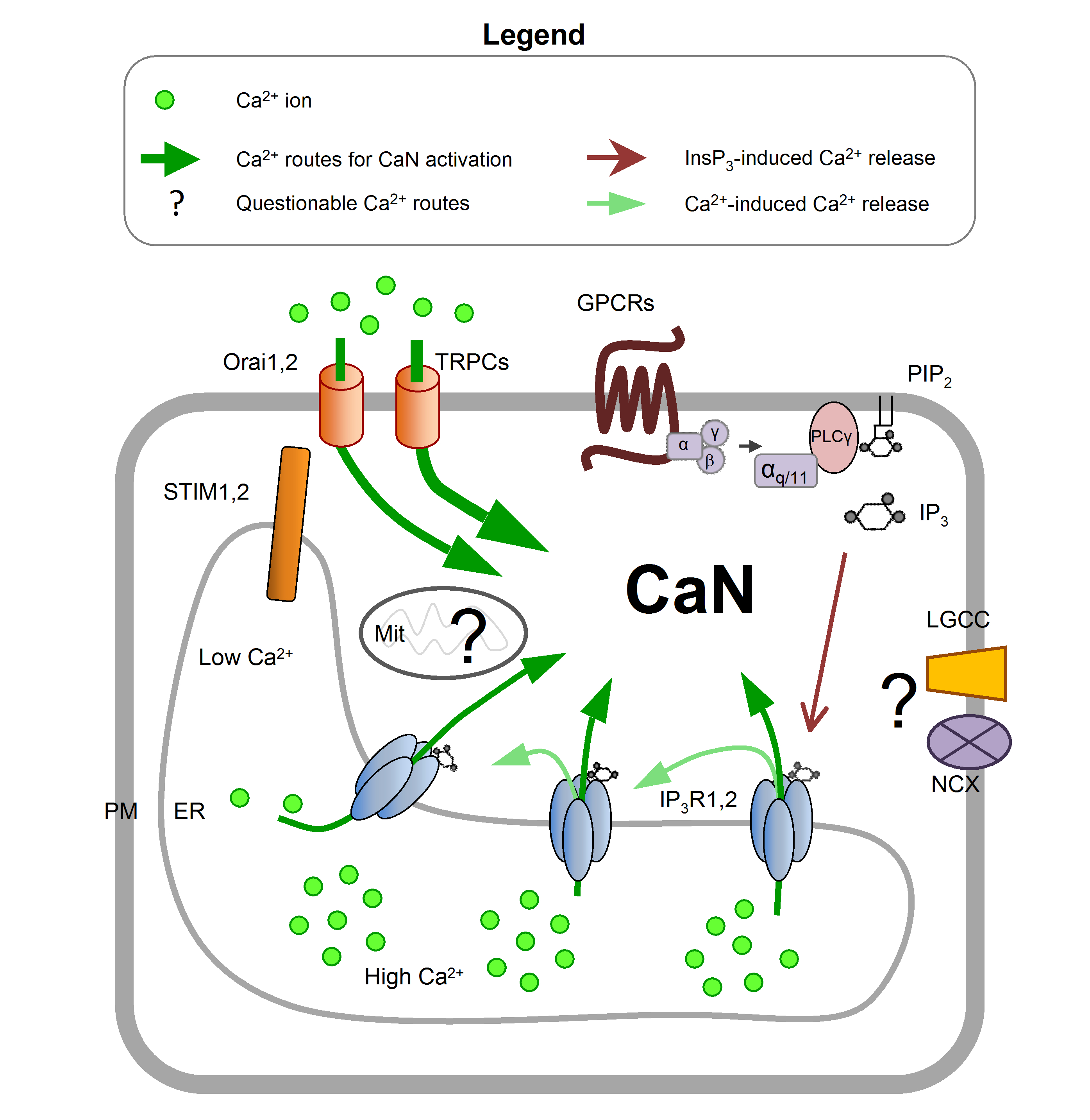 Figure 1. Astroglial Ca2+ routes for CaN activation The principal mechanism of CaN activation in astrocytes is represented by the activation of the seven transmembrane domains G-protein coupled receptors (GPCR), which generates the second messenger InsP3 that in turn activates the InsP3Rs on the ER membrane (depicted as thin green arrows). Once activated, the InsP3Rs induce the store-operated Ca2+ entry, which involves the interaction between the STIMs molecules onto the ER and the Orai channels located into the plasma membrane. That recruits the transient receptor potential (TRP) channels to induce a massive Ca2+ entry (depicted as bold green arrow). Ca2+-induced Ca2+ release (depicted as light-green thin arrows) may also be involved in the amplification of Ca2+ signal necessary for CaN activation, whereas the roles of mitochondrial Ca2+ uptake (Mit), ligand gated Ca2+ channels (LGCC) and sodium/calcium exchanger (NCX) is not clear. Note that IP3R1 has been studied in cultured astrocytes while in intact tissue IP3R2 is the principal isoform
