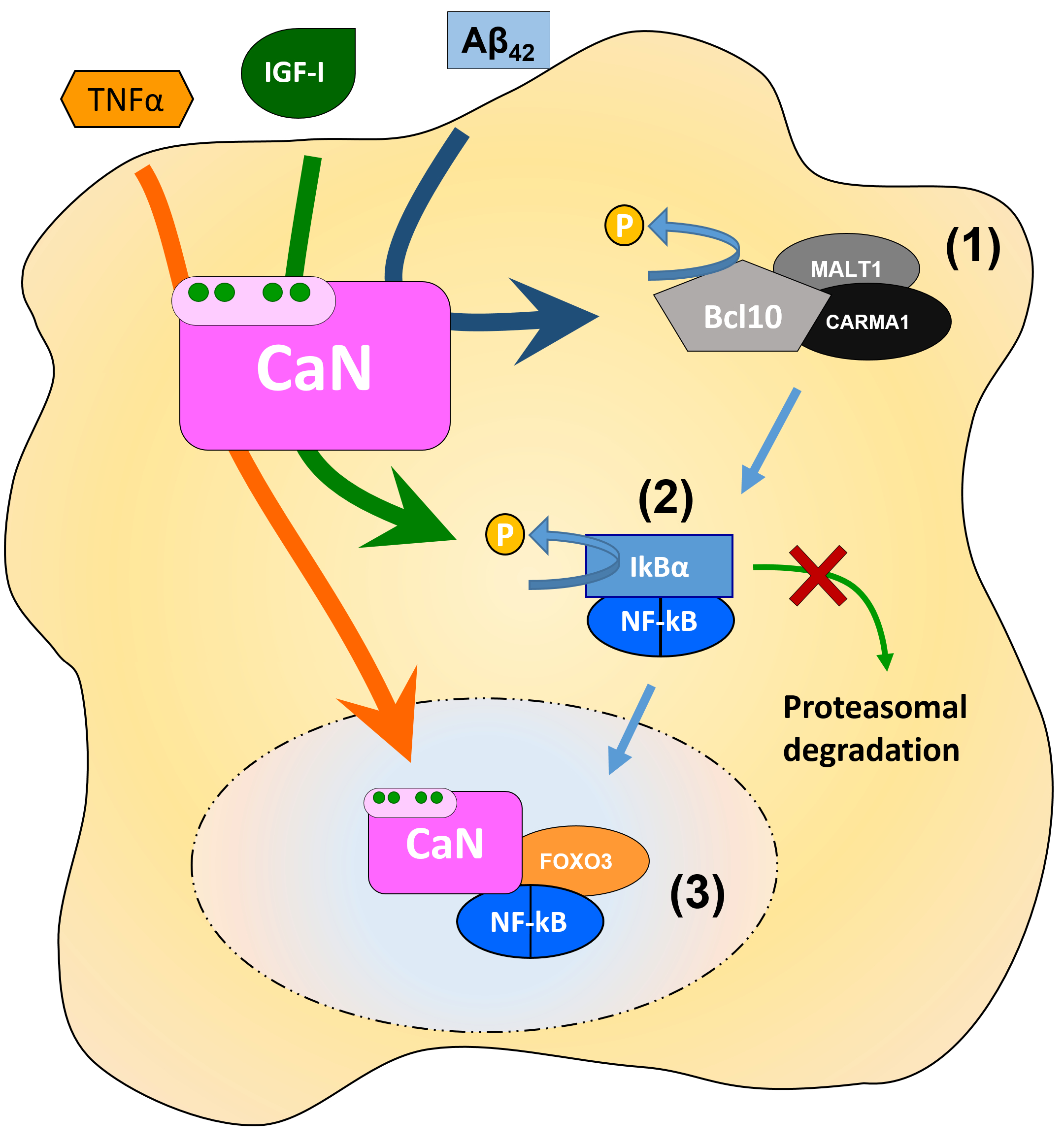 Figure 2. Schematic illustration of specific points in the NF-kB astroglial signalling cascade in which CaN can intervene  (1) CaN dephosphorylates Bcl10, which potentiates NF-kB signalling in hippocampal cultured astrocytes (Lim et al., 2013); (2) CaN dephosphorylates IkBα, thus precluding its degradation which results in the inhibition of NF-kB nuclear translocation (Pons & Torres-Aleman, 2000); (3) CaN, in complex with NF-kB and FOXO3, is required for TNFα-induced NF-kB nuclear translocation and activation of transcription both in vitro and in vivo(Fernandez et al., 2012)