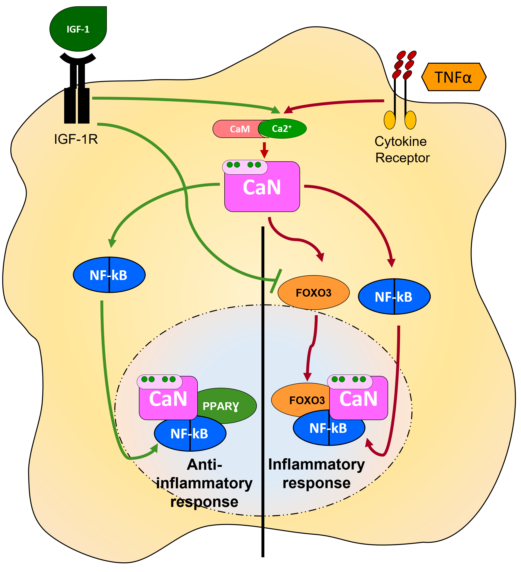 Figure 3. Activation vs inhibition of NF-kB-mediated signalling: role of CaN interacting proteins Upon stimulation with TNFα, CaN recruits and dephosphorylates FOXO3 to interact with and activate NF-kB, which promotes transcription of inflammatory genes. When co-stimulated with IGF-I, CaN recruits PPARγ to displace FOXO3 from the CaN/FOXO3/NF-kB complex generating the CaN/PPARγ/NF-kB complex, thus precluding NF-kB transcriptional activity (Fernandez et al., 2012)