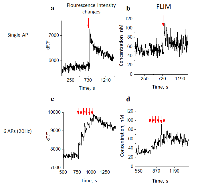 Figure 2. The examples of recording fluorescence intensity and fluorophore relaxation time for one axonal button. A,C Example of dynamics of fluorescent signal in response to the generation of a single AP and several APs respectively; B,D Example of dynamics of relaxation time of a fluorophore, for a single AP and several APs respectively.